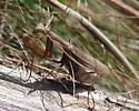 Mantis - Mantis religiosa - female