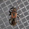 Plant bug? - Arocatus melanocephalus