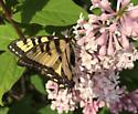 Butterfly - Papilio canadensis