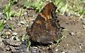 Califronia Tortoiseshell - Nymphalis californica