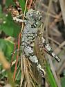 Grasshopper - Melanoplus punctulatus