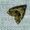 unknown moth - Tripudia quadrifera