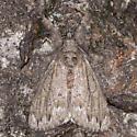 Dasychira atrivenosa - male