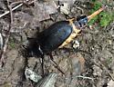 Black beetle - Prionus laticollis