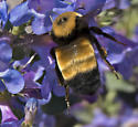 Bumble Bee in Eastern Washington - Bombus nevadensis