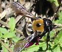 Xylacopa virginica - Xylocopa virginica