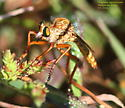 Diogmites angustipennis? - Diogmites - male