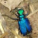 6-Spotted Tiger Beetle? - Cicindela sexguttata