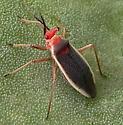 Cactus Plant Bug - Hesperolabops gelastops