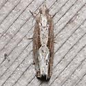 Strepsicrates smithiana - female