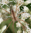 Spider for ID - Pisaurina mira