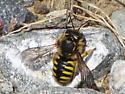 Syrphid? - Anthidium manicatum - female