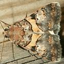Moth - Forsebia cinis - male