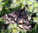 Small day-flying moth on Lomatium - Pyrausta dapalis