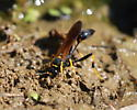 thin-waisted hymenopteran - Sceliphron caementarium