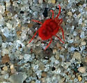 Velvet Mite I think. How does one tell one from another? - Trombidium