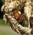 A. trifolium male - Araneus trifolium - male