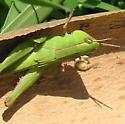 Unknown grasshopper near creek - Dichromorpha viridis - female