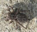 Jumping Spider Gray 2 - Habronattus