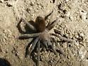 Spider # 14 - Tarantula - Aphonopelma