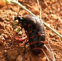 Beetle?? - Megetra punctata