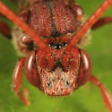 Cuckoo Bee - Nomada - female