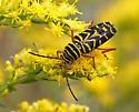 Tiger Beetle ? - Megacyllene robiniae