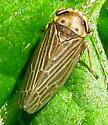 Leafhopper - Agallia quadripunctata