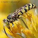 Wasp - Steniolia