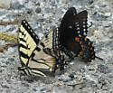 Spicebush and Tiger Swallowtail Butterflies Interacting/ Puddling - Papilio