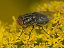 9040670 fly - Cochliomyia macellaria - male