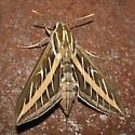 Moth, Hyles lineata ? - Hyles lineata