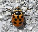 Thirteen-spotted Lady Beetle - Hippodamia tredecimpunctata