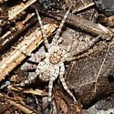 beach wolf spider - Arctosa littoralis