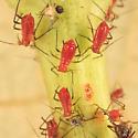 aphids on sunflower - Uroleucon helianthicola