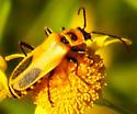 Golden Rod Soldier Beetle - Chauliognathus pensylvanicus