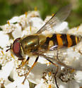 Syrphid Fly - Syrphus torvus