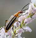 Beetle ID request - Pyrota lineata