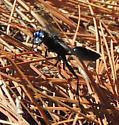 Steel-Blue cricket hunter - Chlorion aerarium