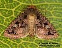 Hexorthodes catalina 10603 - Hexorthodes catalina
