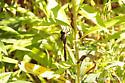 Dragonfly - Aeshna tuberculifera