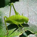 Katydid nymph  - Amblycorypha