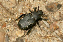 Beetle from Kern County, California - Cremastocheilus angularis