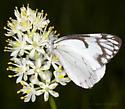 Pine White - Neophasia menapia