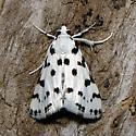 Spotted Peppergrass Moth - Hodges #4794 - Eustixia pupula