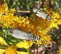 Blister Beetle? - Epicauta caviceps