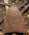 Sleepy eye moth - Phoberia