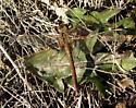 Sympetrum costiferum - female