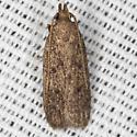 Juniper Tip Moth – Hodges #1136.1 - Glyphidocera juniperella