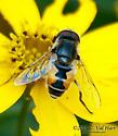 Bee Mimic - Eristalis arbustorum - male